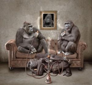 Gorilles fumeurs de cannabis