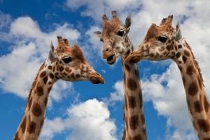 Girafes_trois